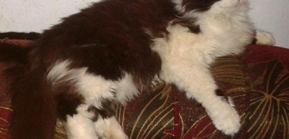 """В Херсоне в районе """"Салюта"""" потерялся кот Барсик"""