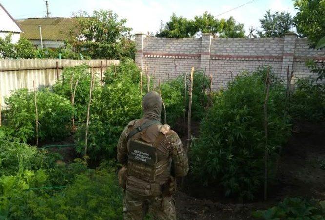 У Генічеську правоохоронці виявили плантації коноплі та обладнання для її вирощування