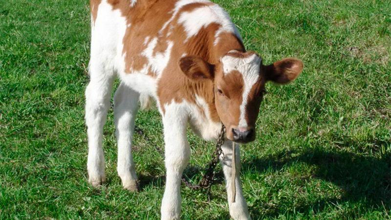 В Херсоне заживо сожгли теленка