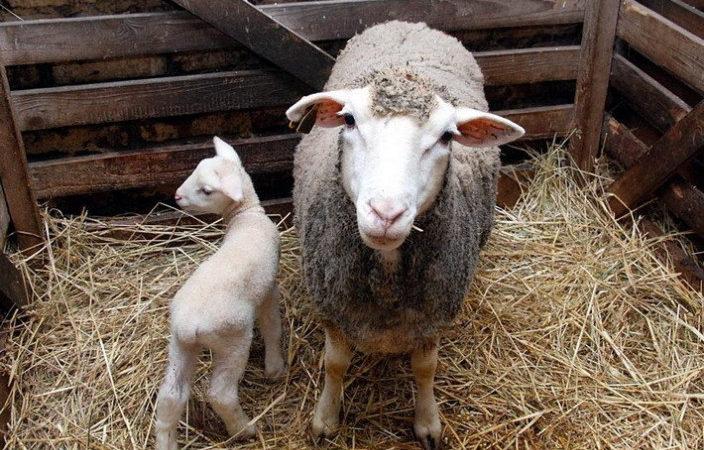 Турецкие предприниматели намерены купить 10 тысяч херсонских овец