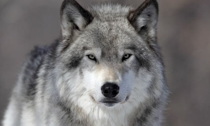 Под Голой Пристанью охотники застрелили волка, нагонявшего ужас на местных жителей