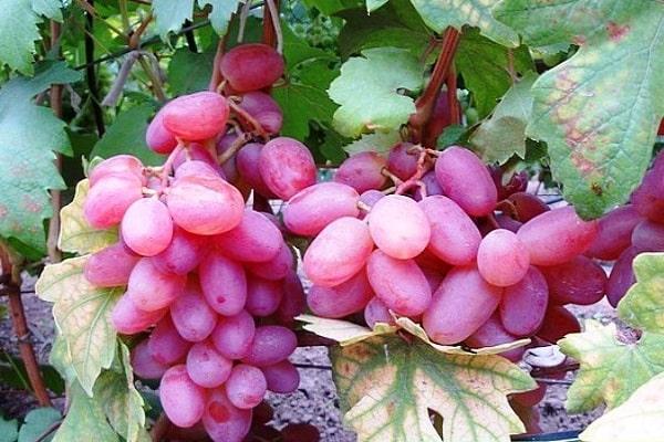 Виноград Виктор: неприхотливое растение с высоким уровнем урожайности