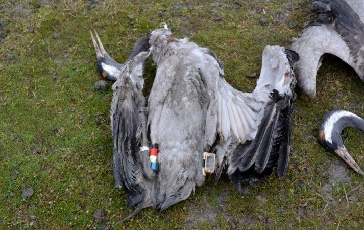 7 млн грн збитків: в Асканії-Нова за декілька місяців загинуло понад 2 тисячі птахів
